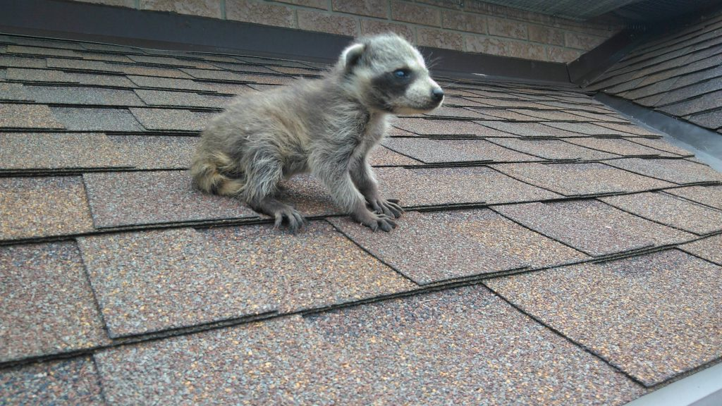 Why Are Raccoons More Active During Spring