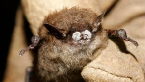 White nose syndrome from bats