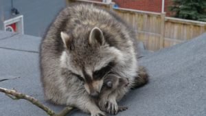 Raccoon Control Bowmanville