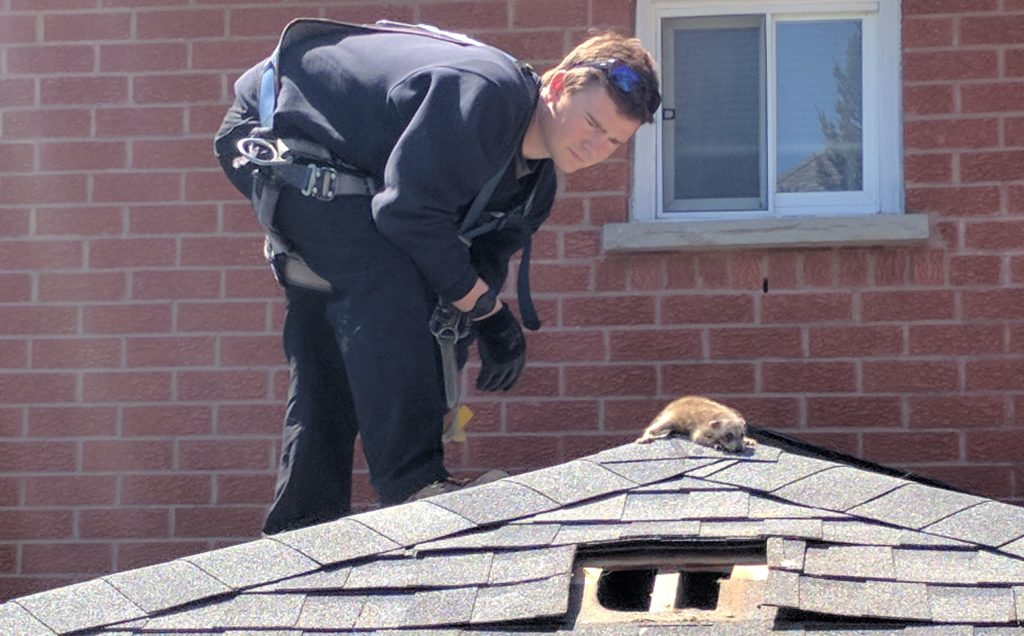Skedaddle Technician with Raccoon on Roof
