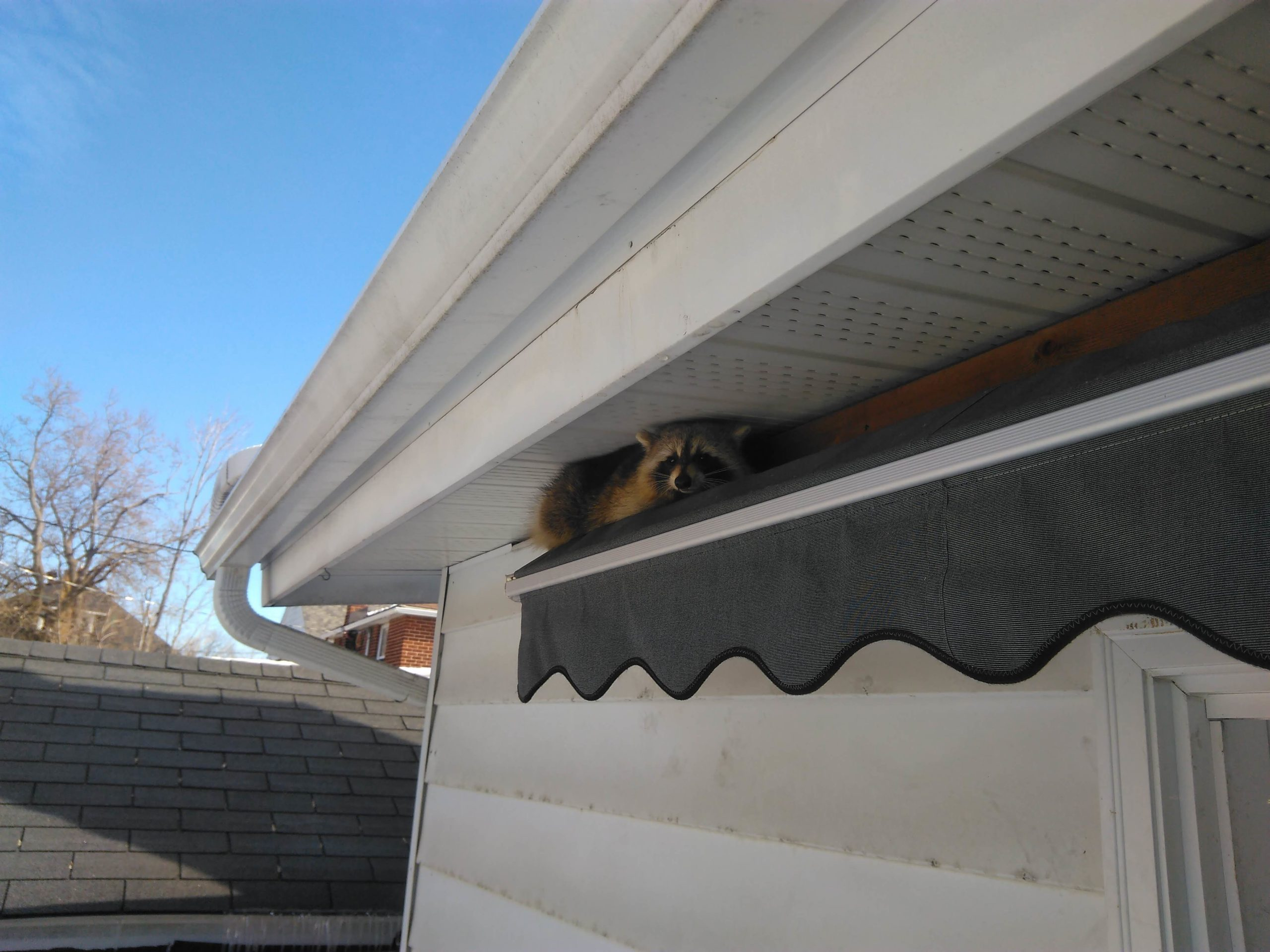 Does Homeowners Insurance Cover Raccoon Removal