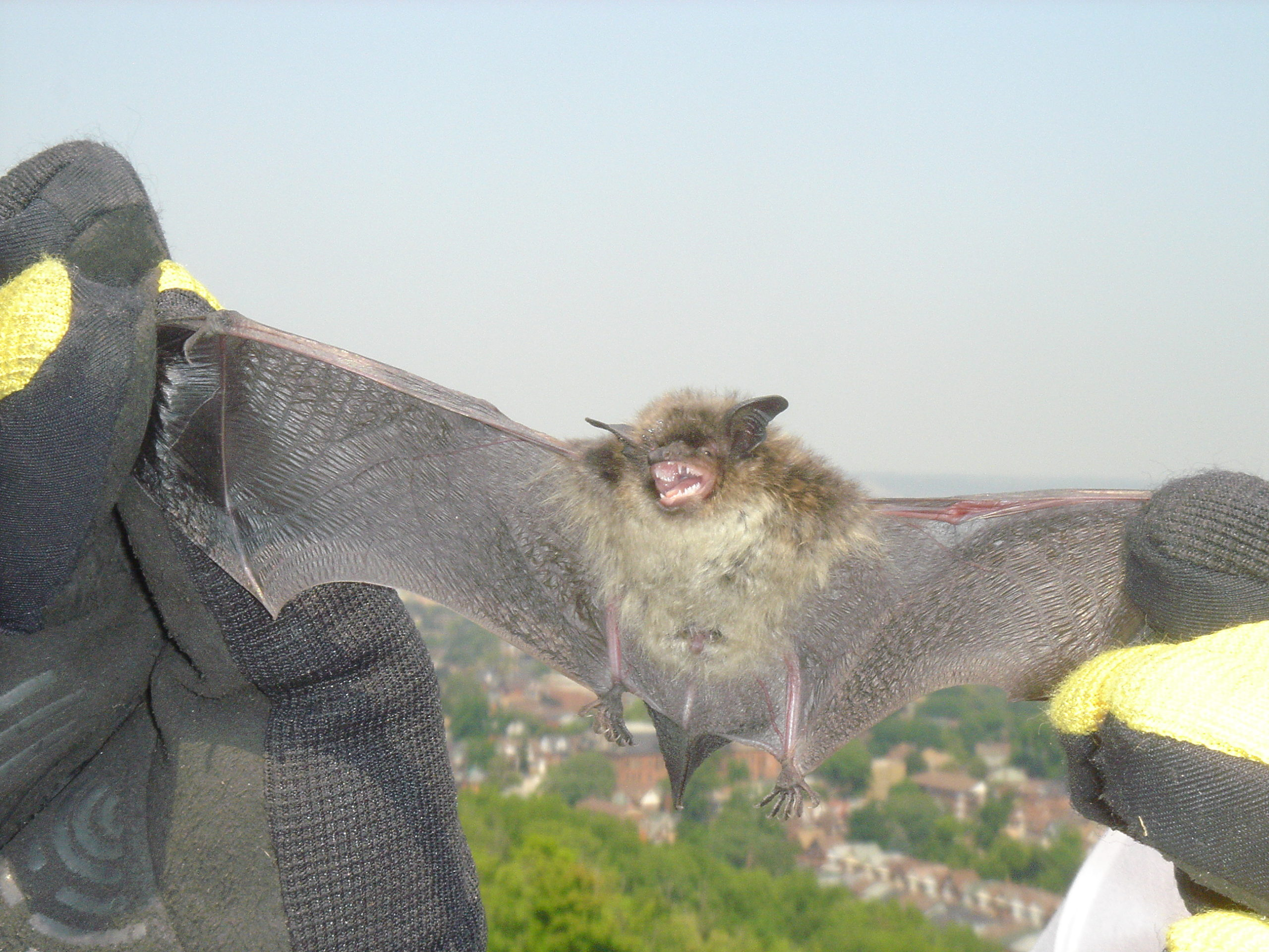 Bat Removal Oshawa