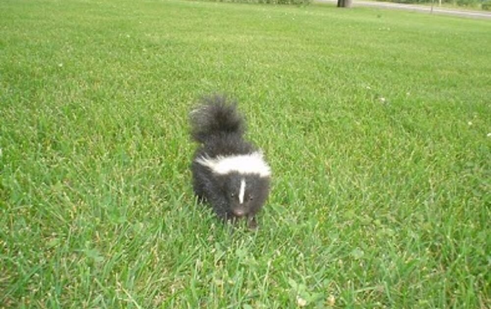 Skunk Removal Milwaukee