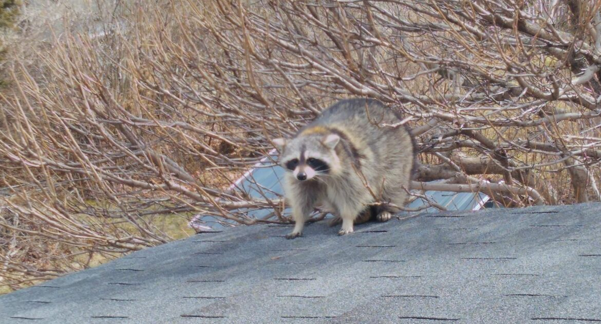 What Raccoons Do During the Day