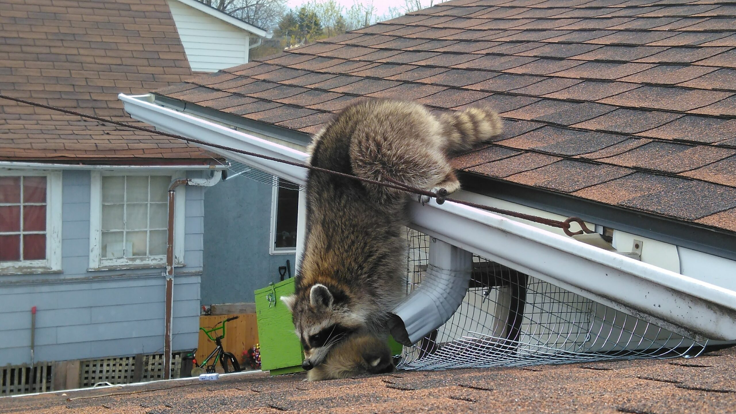 Raccoon Removal Pickering