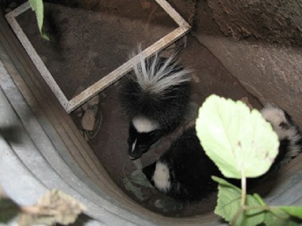 Skunk Removal Madison