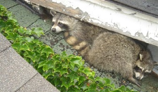 Raccoon Removal Madison