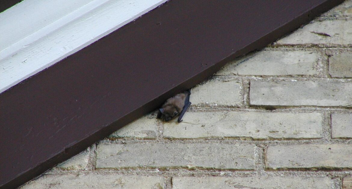 Bat Removal Milwaukee