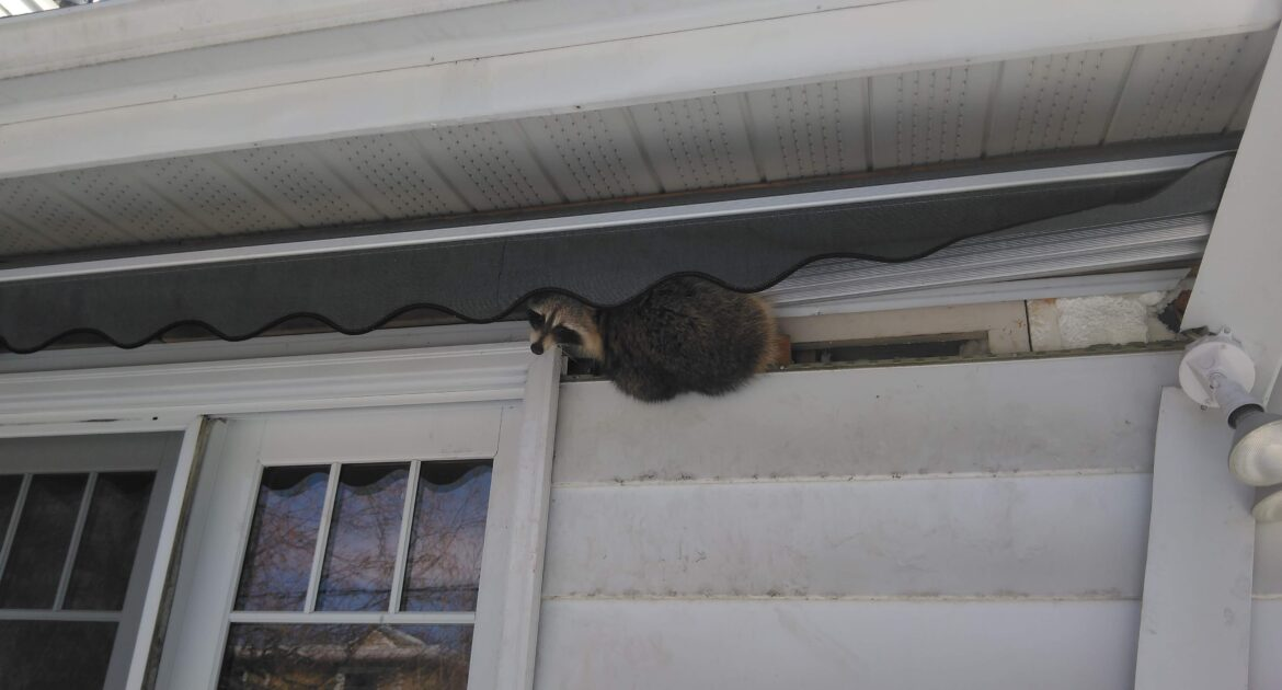 Raccoon Removal Whitby