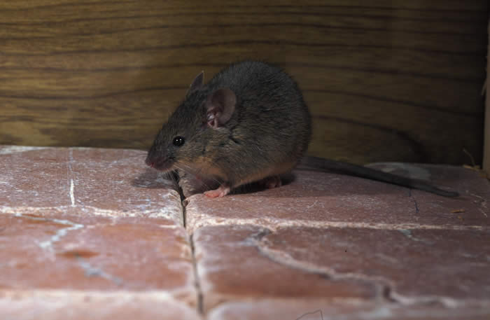 Mice Removal Madison