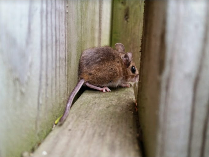 Mice Removal Oakville