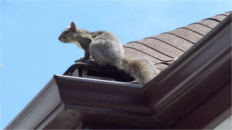 Squirrel Removal Hamilton