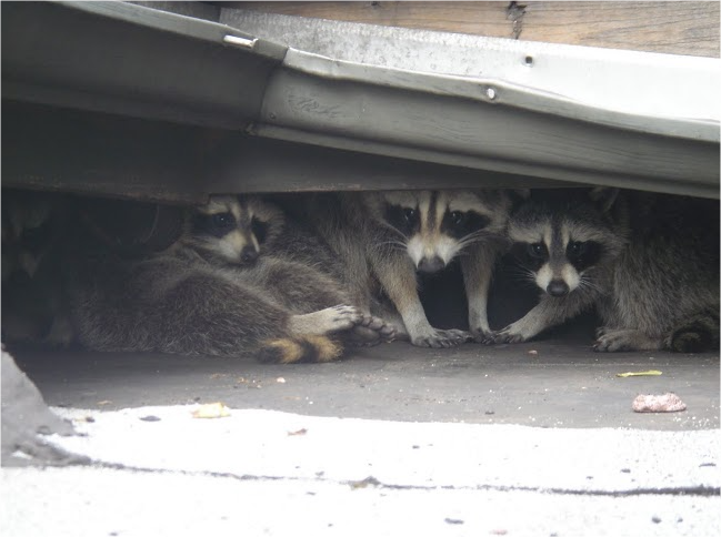 Raccoon Removal Niagara