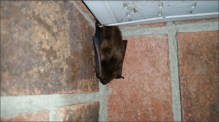 Bat Removal Whitby