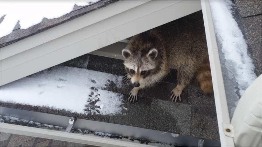 Raccoon Control Ajax