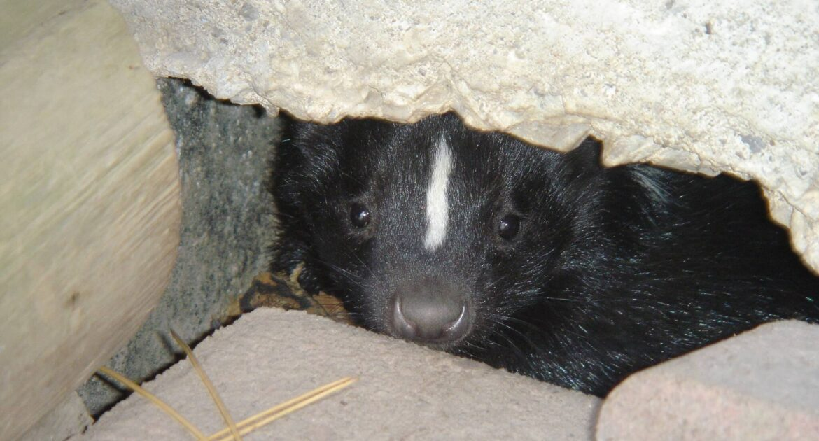 Skunk Removal Coquitlam