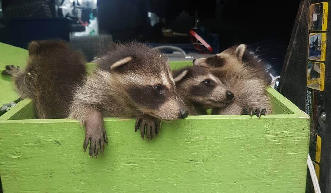 Raccoon Removal Coquitlam