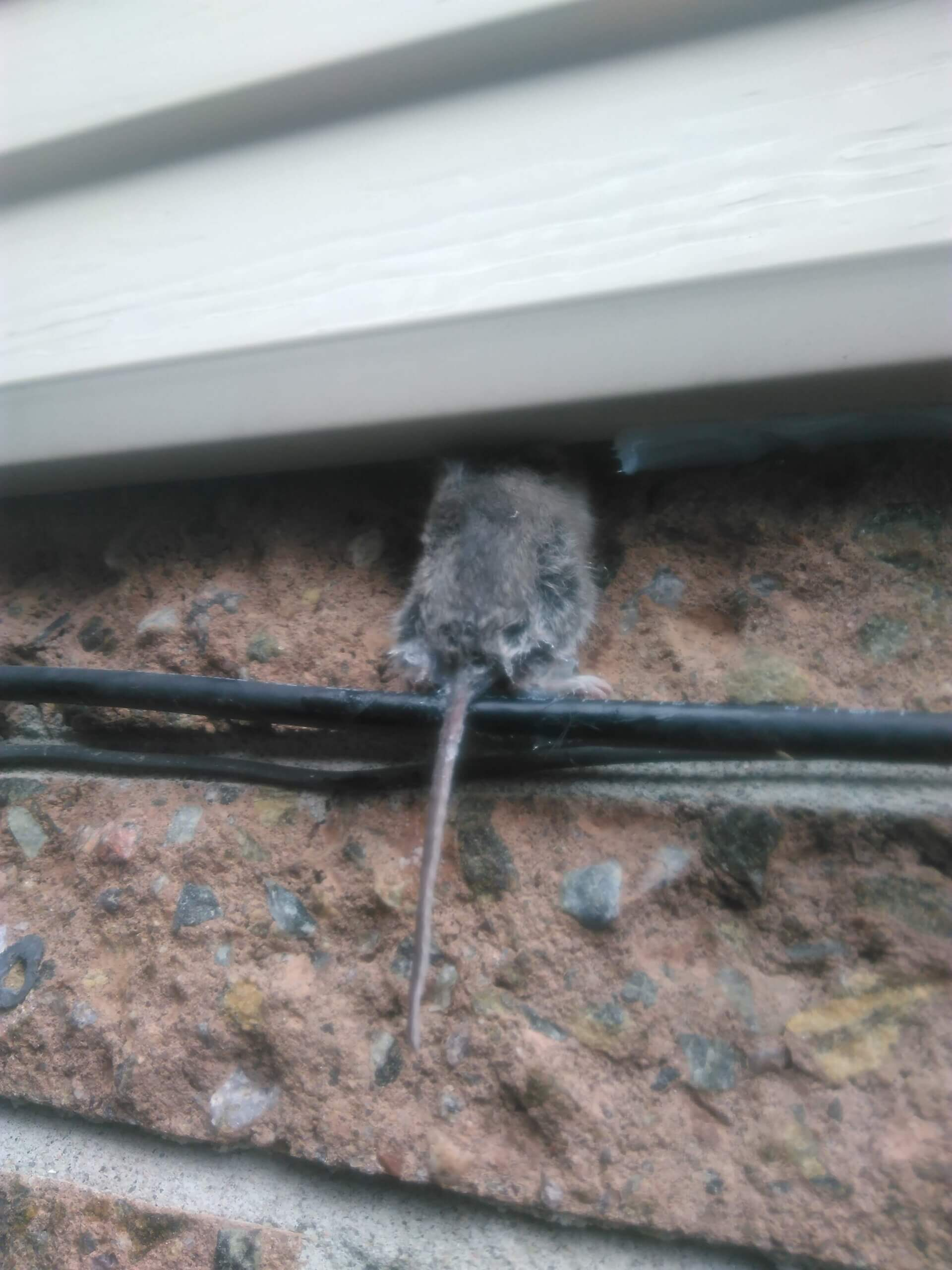 Mice Removal Vaughan