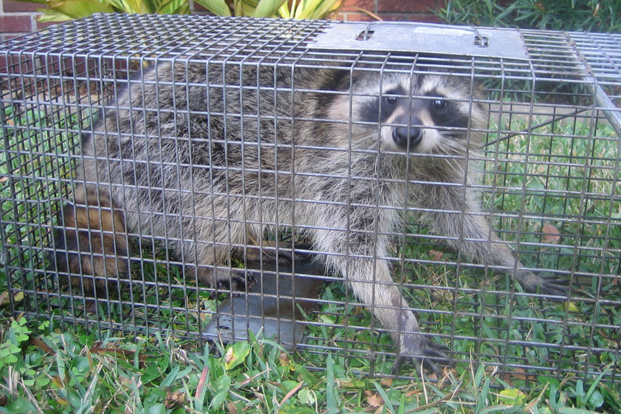 Raccoon Removal Montreal
