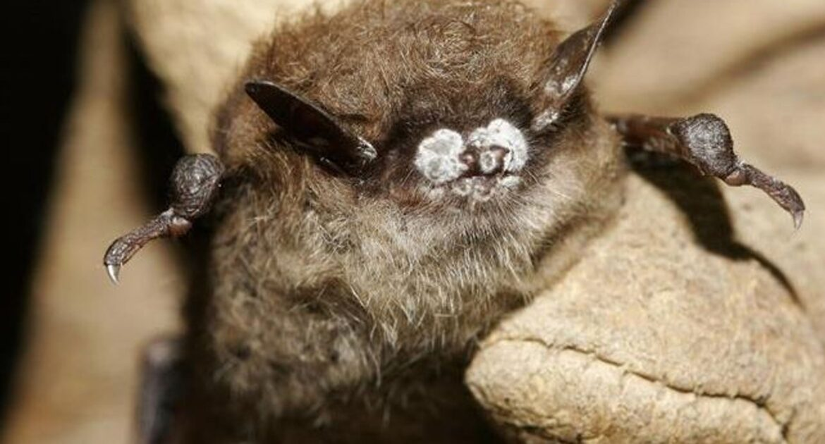 white-nose syndrome on bats