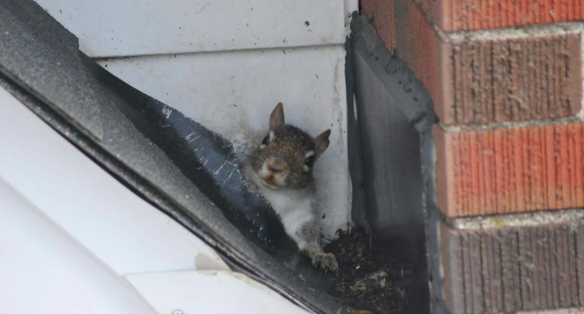 Squirrel Removal Madison