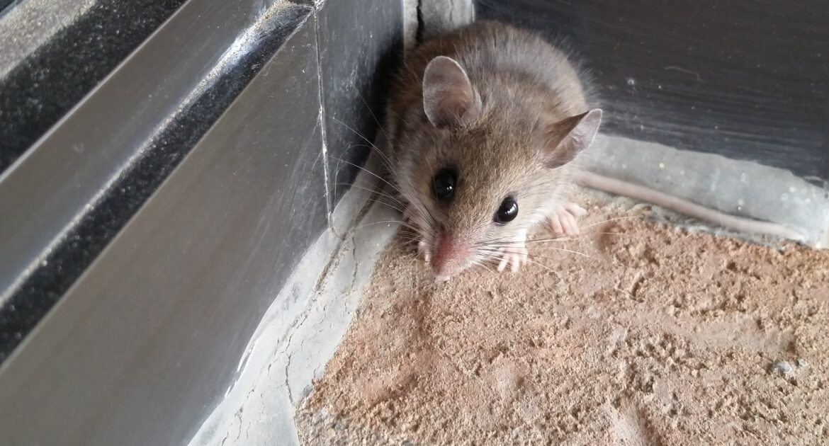 Mice Removal Coquitlam