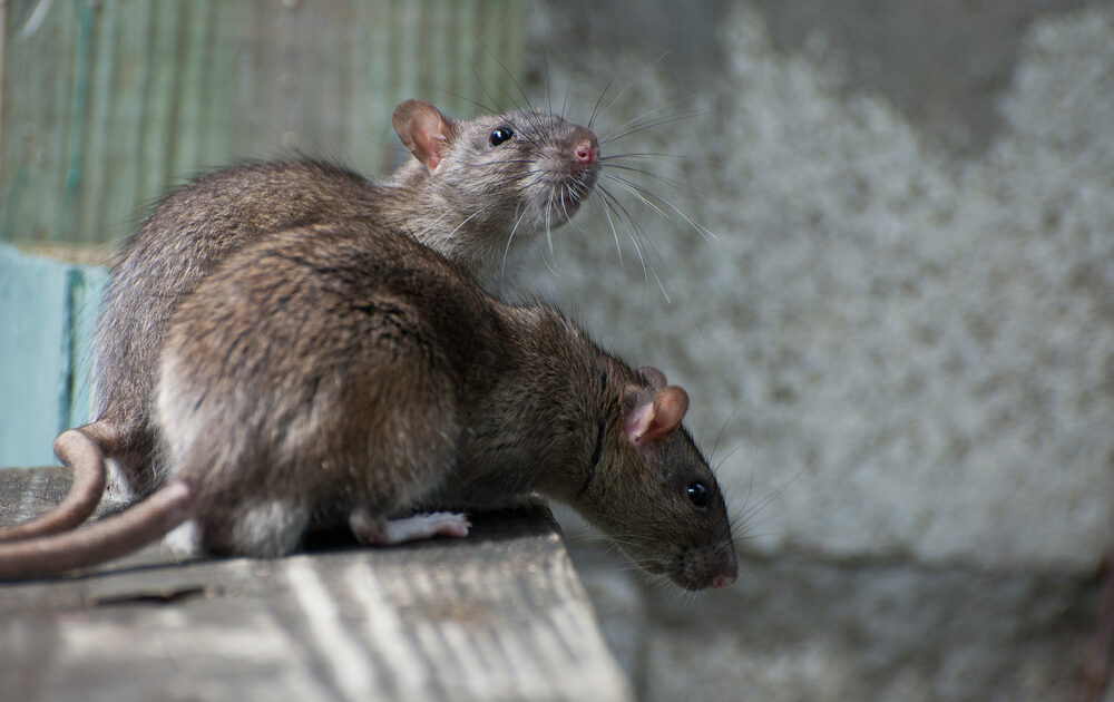Rat Removal Barrie